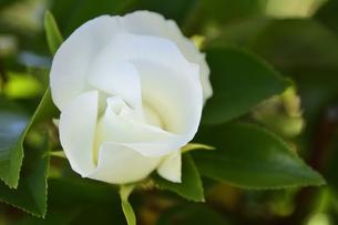 バラ(バラ科バラ属)の白色の花と葉の写真素材 [FYI04868648]