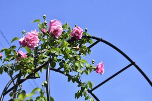 アーチ型の支柱に咲くピンク色のバラ(バラ科バラ属)の花とつぼみと葉と青空の写真素材 [FYI04868649]