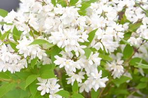満開に咲いたヒメウツギ(ユキノシタ科またはアジサイ科ウツギ属の落葉低木)の白色の花と葉と枝の写真素材 [FYI04868661]