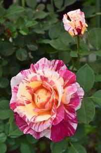 バラ(バラ科バラ属)の白色とオレンジ色と赤の混じった花とつぼみと葉の写真素材 [FYI04868665]