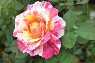 バラ(バラ科バラ属)の白色とオレンジ色と赤の混じった花と葉の写真素材 [FYI04868666]