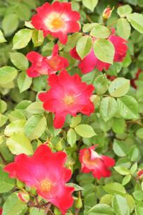 バラ(バラ科バラ属)の赤色の花と葉の写真素材 [FYI04868668]