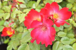 バラ(バラ科バラ属)の赤色の花と葉の写真素材 [FYI04868669]