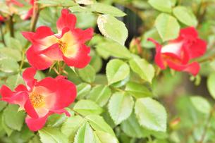 バラ(バラ科バラ属)の赤色の花と葉の写真素材 [FYI04868670]