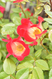 バラ(バラ科バラ属)の赤色の花と葉の写真素材 [FYI04868671]