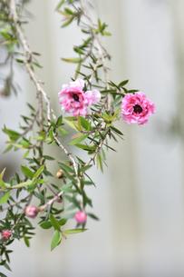 ギョリュウバイ(フトモモ科ギョリュウバイ属の常緑低木)の赤い花とつぼみと葉の写真素材 [FYI04868672]