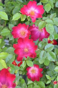 バラ(バラ科バラ属)の赤色の花と葉の写真素材 [FYI04868691]