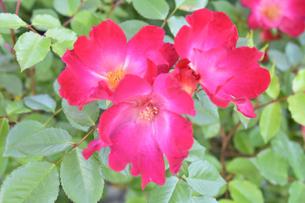 バラ(バラ科バラ属)の赤色の花と葉の写真素材 [FYI04868692]