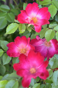 バラ(バラ科バラ属)の赤色の花と葉の写真素材 [FYI04868694]
