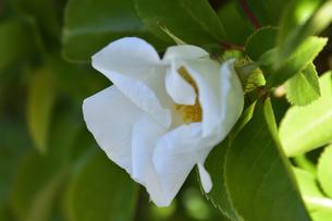 バラ(バラ科バラ属)の白色の花と葉の写真素材 [FYI04868696]