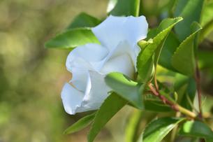バラ(バラ科バラ属)の白色の花と葉の写真素材 [FYI04868697]