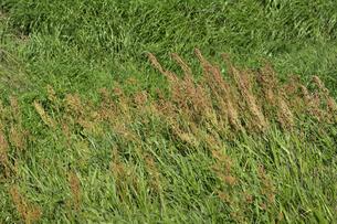 強風に煽られてたなびく草原の植物の写真素材 [FYI04868701]