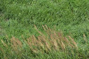 強風に煽られてたなびく草原の植物の写真素材 [FYI04868702]