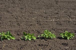 畑に植えられたジャガイモの苗の写真素材 [FYI04868703]