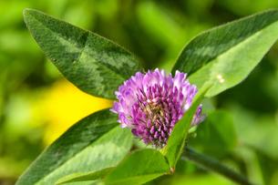 ムラサキツメクサ別名アカツメクサ(シャジクソウ属)の赤紫色の花の写真素材 [FYI04868705]