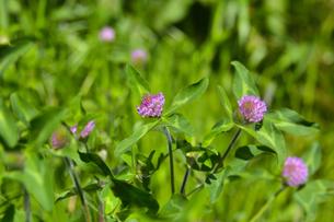 ムラサキツメクサ別名アカツメクサ(シャジクソウ属)の赤紫色の花の写真素材 [FYI04868708]