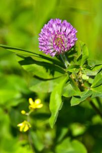 ムラサキツメクサ別名アカツメクサ(シャジクソウ属)の赤紫色の花の写真素材 [FYI04868709]