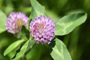 ムラサキツメクサ別名アカツメクサ(シャジクソウ属)の赤紫色の花の写真素材 [FYI04868710]