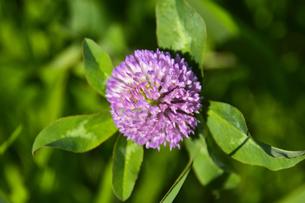 ムラサキツメクサ別名アカツメクサ(シャジクソウ属)の赤紫色の花の写真素材 [FYI04868711]