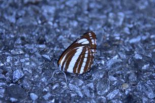 石が敷詰められた地面に止まるコミスジ(チョウ目タテハチョウ科)の写真素材 [FYI04868714]