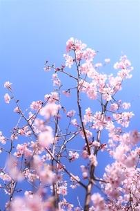 空の青に透ける桜花(彼岸桜・小彼岸桜)の写真素材 [FYI04869122]