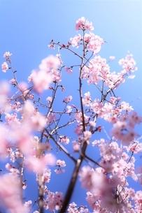 空の青に透ける桜花(彼岸桜・小彼岸桜)の写真素材 [FYI04869124]