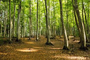 新緑の美人林 新潟県の写真素材 [FYI04869129]