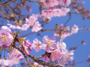 満開のサクラの花の写真素材 [FYI04869230]