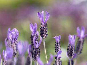 ラベンダーの花の写真素材 [FYI04869374]