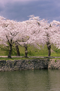 北海道 函館市五稜郭公園の桜の写真素材 [FYI04869382]
