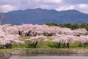 北海道 函館市五稜郭公園の桜の写真素材 [FYI04869383]