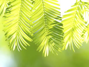 新緑のメタセコイヤの葉の写真素材 [FYI04869385]