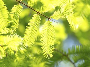 新緑のメタセコイヤの葉の写真素材 [FYI04869386]
