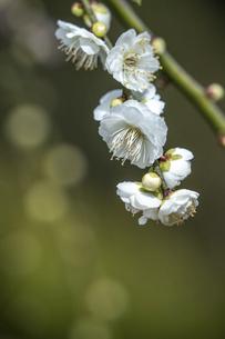 梅の花・白梅の写真素材 [FYI04869473]