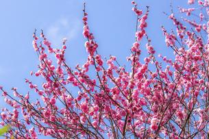 梅の花・紅梅の写真素材 [FYI04869483]