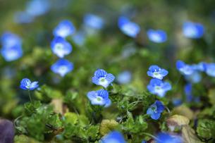 オオイヌノフグリ・春の花の写真素材 [FYI04869484]