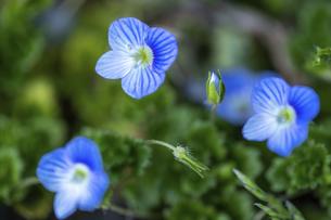 オオイヌノフグリ・春の花の写真素材 [FYI04869492]