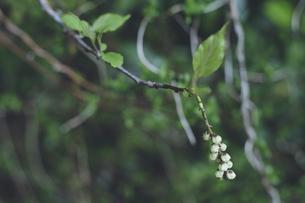 鹿児島県の日本100名山、開聞岳の山道で見つけた白い花の写真素材 [FYI04869559]