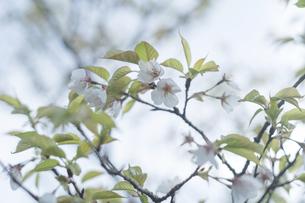 鹿児島県の日本100名山、開聞岳山道の山桜の写真素材 [FYI04869571]