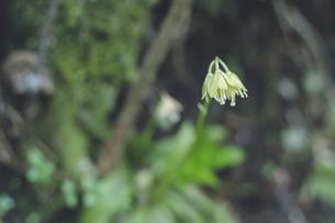 鹿児島県の日本100名山、開聞岳の山道で見つけた白い花の写真素材 [FYI04869579]