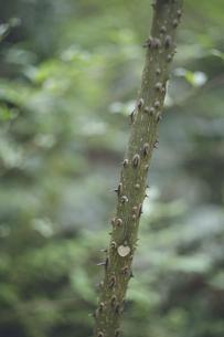 鹿児島県の日本100名山、開聞岳の山道で見つけたトゲトゲの木の写真素材 [FYI04869611]