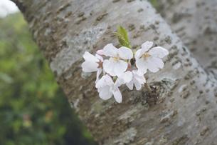 五分咲きの桜の花の写真素材 [FYI04869617]