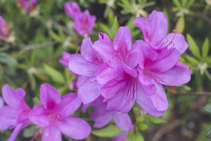 ピンク色のツツジの花の写真素材 [FYI04869618]