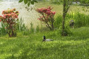 ひと休みする鴨の写真素材 [FYI04869663]
