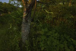 【梅雨】ゲンジボタルが夜に飛んでいる自然風景の写真素材 [FYI04869671]