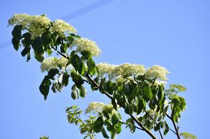 ミズキ(ミズキ科ミズキ属・春先に幹や枝を切ると水が滴ることから命名)の白い花と葉と枝の写真素材 [FYI04869849]