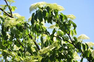 ミズキ(ミズキ科ミズキ属・春先に幹や枝を切ると水が滴ることから命名)の白い花と葉の写真素材 [FYI04869850]