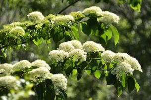 ミズキ(ミズキ科ミズキ属・春先に幹や枝を切ると水が滴ることから命名)の白い花と葉の写真素材 [FYI04869851]
