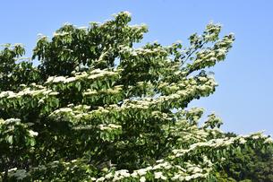 ミズキ(ミズキ科ミズキ属・春先に幹や枝を切ると水が滴ることから命名)の白い花と葉の写真素材 [FYI04869852]