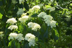 ミズキ(ミズキ科ミズキ属・春先に幹や枝を切ると水が滴ることから命名)の白い花と葉の写真素材 [FYI04869853]